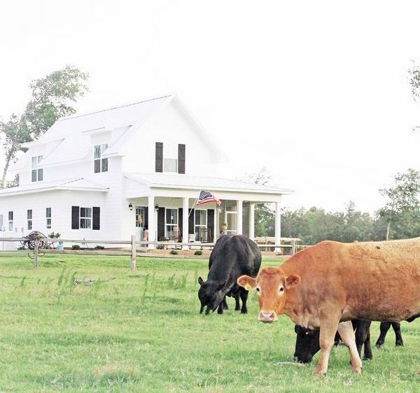 Cows standing in front of Sugarberry Cottage Farmhouse