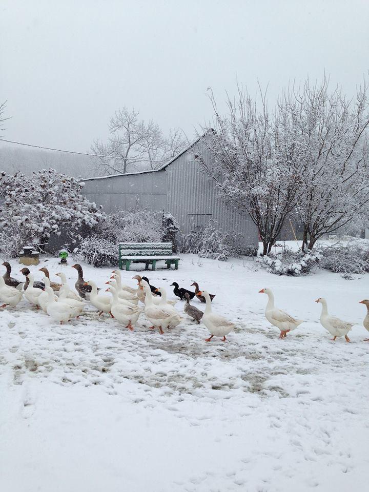 Goose Farm in Missouri