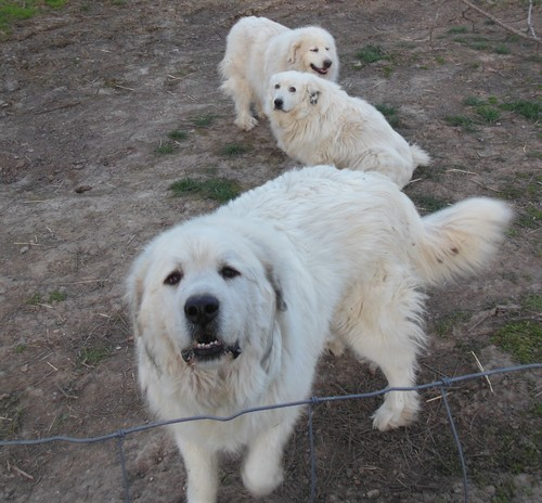 Great Pyrenees dogs on goose farm