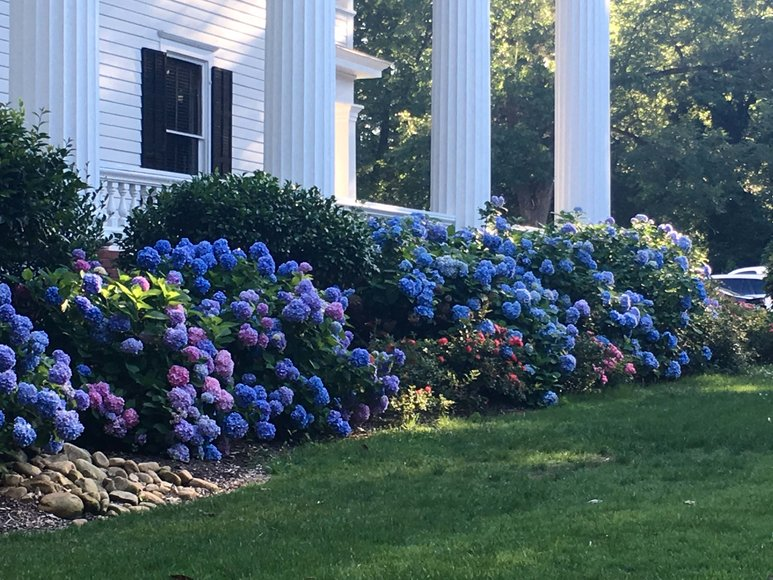 Closeup of hydrangeas in front of house